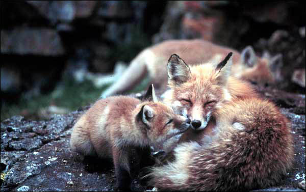 Red foxes, Sadlerochit Mountains