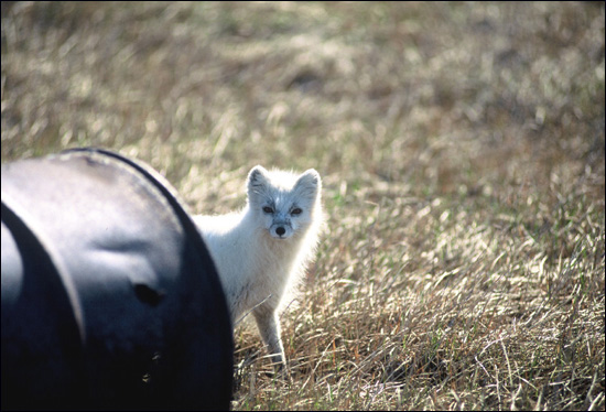 Arctic fox, Coastal Plain