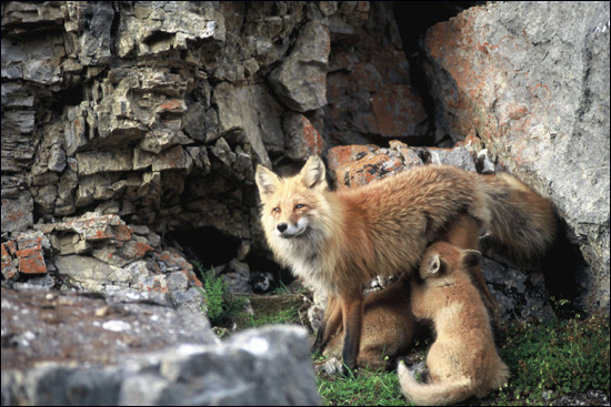 Red fox mother